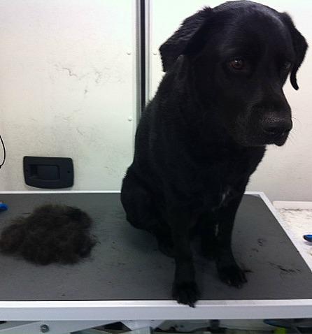 Labrador grooming